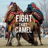 Turkey: Go see camels fighting until losing their pride